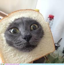 Cat Breading Meme - i can has cheezburger cat breading funny internet cats cat