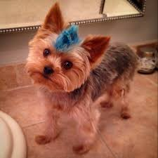 pictures of shorkie dogs with long hair the cutest thing ever so doing this to my buddy ech dogs