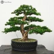 bonsai trees herons bonsai tree store indoor bonsai and
