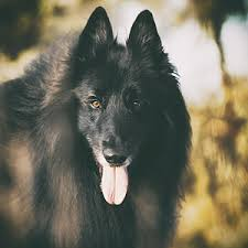 belgian sheepdog art belgian sheepdog art page 2 of 5 fine art america