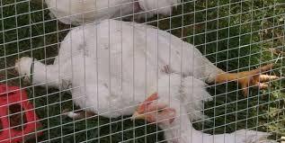 ragdoll chickens backyard chickens
