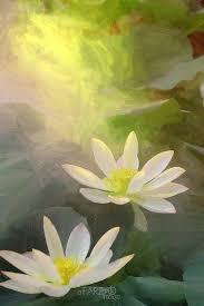 Lotus Flower In Muddy Water - best 25 lotus flowers ideas on pinterest lotus flower lotus