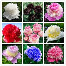 Wholesale Peonies 100 Flower Seeds Wholesale 2017 Wholesale Quality Herbal
