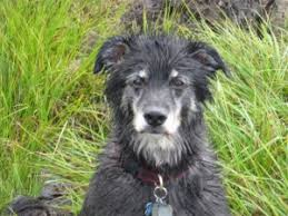 bearded collie and border collie mix zachary the border collie german shepherd mix project dog