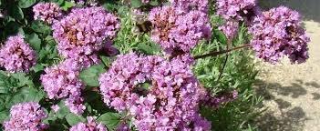 marjoram ornamental oregano showy oregano origanum rosenkuppel