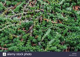 evergreen ornamental grass closeup in the garden stock photo
