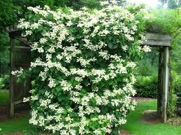 kletterpflanzen fã r balkon 19 best climbing plants for pergolas and trellises balkon