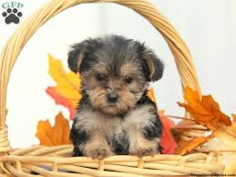 hair accessories for yorkie poos 17 best yorkie poo puppies images on pinterest yorkie poo