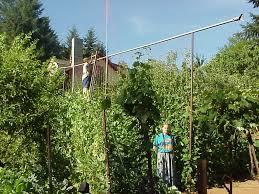 the ultimate diy pole bean trellis