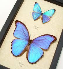 morpho zephyritis morpho godarti framed butterflies and