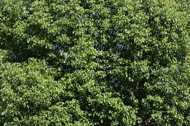 texture tree leaves