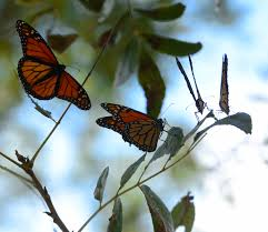 endangered species act petition wrong tool for monarch butterfly