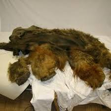 woolly mammoth frozen siberia fur intact