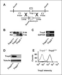 loss of trop2 promotes carcinogenesis and features of epithelial