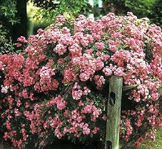 Top Flowering Shrubs - 37 best flowering shrubs images on pinterest flowering shrubs