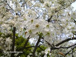 pictures of pear tree flowers