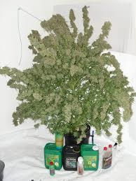 growing autoflower with led lights dutch passion autoultimate 1kg grow review dutch passion