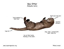 otter sea