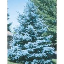 pf0293 blue spruce blue spruce and products