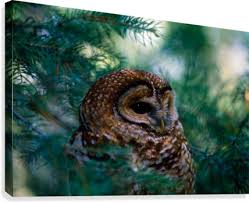 spotted owl in tree pacificstock canvas
