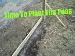 planting spring peas and a simple pea trellis youtube