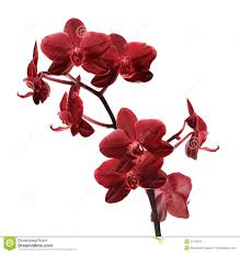 Dark Red Flower - isolated bright red orchid flower branch royalty free stock photos