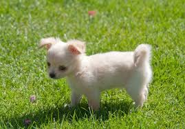 affenpinscher and chihuahua chihuahua puppies for sale akc puppyfinder