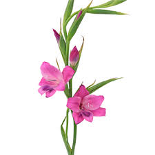 gladiolus flowers splash mini gladiolus flowers