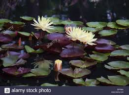 family garden durham nc purple water lilies stock photos u0026 purple water lilies stock