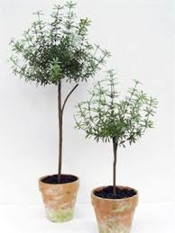 Outdoor Topiary Trees Wholesale - topiary trees for sale foter