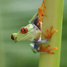 eyed tree frog agalychnis callidryas rainforest alliance