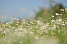 free stock photo of daisies field flora