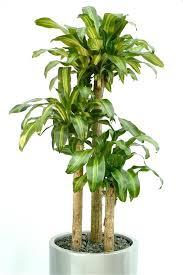 best low light indoor trees the best indoor trees for low light hunker woman watering a indoor