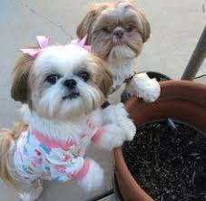 pictures of shih tzu haircuts chynnablue s image all things cats dogs and chinchillas