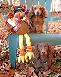 thanksgiving dogs dogs celebrating thanksgiving