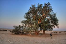 native plants in the desert trees and bushes of the holy land