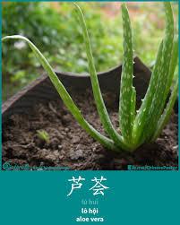 芦荟 lú huì aloe vera lô hội chinese words plants u0026 tree