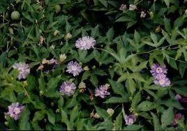 Purple Flower On A Vine - passiflora incarnata purple passion flower may pops apricot vine