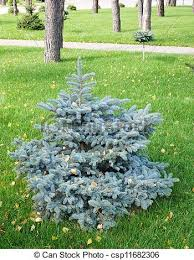 landscape design a small ornamental coniferous tree stock