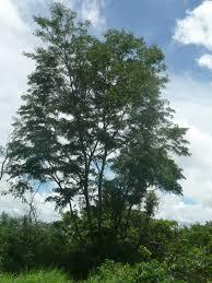madagascar native plants dalbergia greveana useful tropical plants