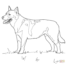 australian cattle dog coloring page free printable coloring pages