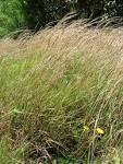Image result for Andropogon virginicus
