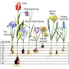 bulb planting chart town country gardening