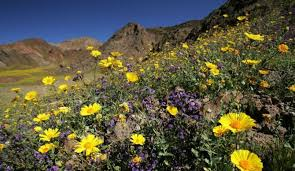 anza borrego wildflowers see rare super bloom of wildflowers carpet anza borrego desert