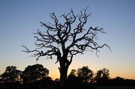 dead oak tree by twilight stock photo image of alone 74527068