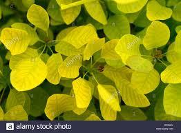 cotinus coggygria golden spirit lime green leaves foliage shrub