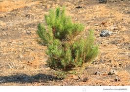 small pine tree image
