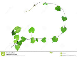 natural frame of green heart shaped leaves climbing plant with b