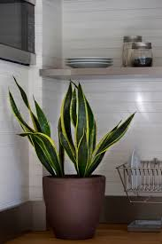 mother in law u0027s tongue modern style for a retro houseplant