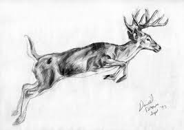 pictures deer pencil draw photos drawing art gallery